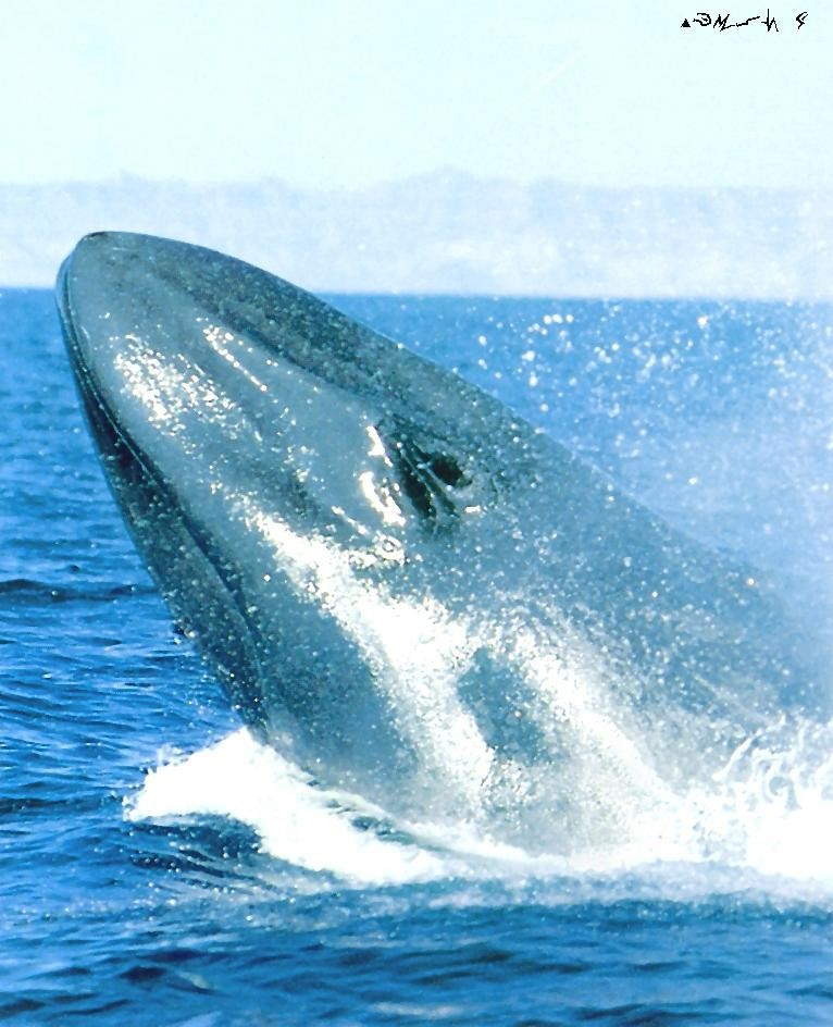 10 Interesting Facts about the endangered Blue Whale | Expedition Easy
